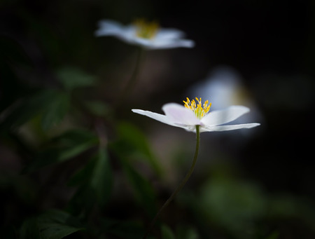 Beautiful white springtime anemones in close up. Early spring flowers. photo
