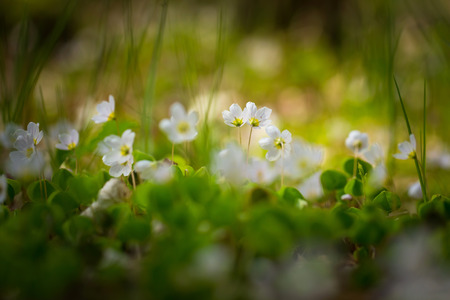 acetosella: Beautiful small flowers of wood sorrel blooming in early springtime in forests. Stock Photo