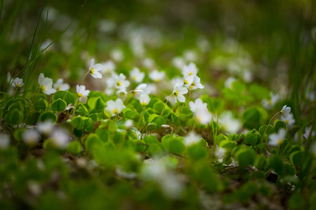 wood sorrel: Beautiful small flowers of wood sorrel blooming in early springtime in forests. Foto de archivo