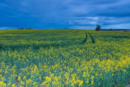 campagne rural: champ paysage de viol. Paysage rural calme de la campagne avec le champ de la floraison de viol.