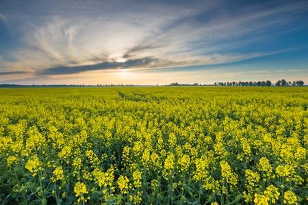 rural countryside: Rape field landscape. Calm rural countryside landscape with field of blooming rape.
