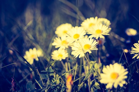 lomography: Vintage photo of blooming daisies. Spring flowers blooming in grass. Vintage mood photo