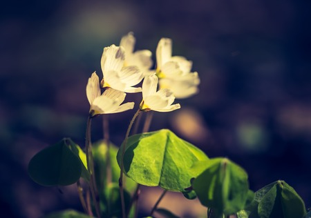 oxalidaceae: Vintage photo of beautiful small flowers of wood sorrel blooming in early springtime in forests.