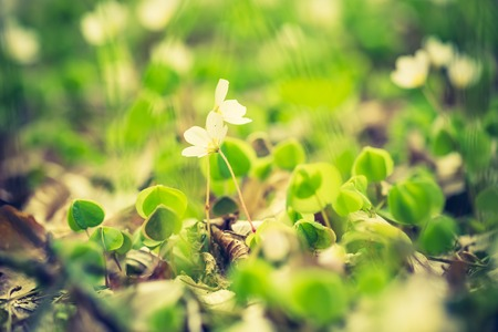acetosella: Vintage photo of beautiful small flowers of wood sorrel blooming in early springtime in forests.