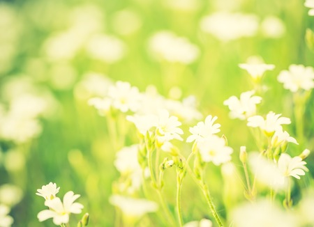 chickweed: Vintage photo of blooming white flowers of chickweed in green grass. Nature springtime flowers background. Stock Photo