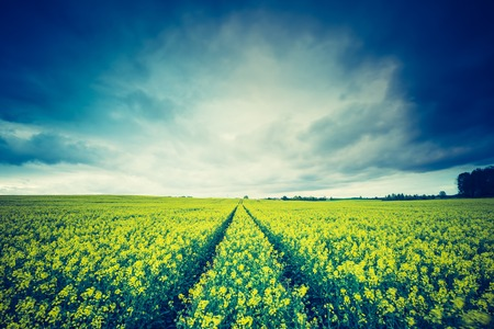 yellow agriculture: Vintage photo of blooming rapeseed field at sunrise. Beautiful agricultural landscape of calm countryside in springtime. Stock Photo