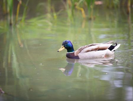 Mallard ducks swimming on lake. Nature photo of birds photo