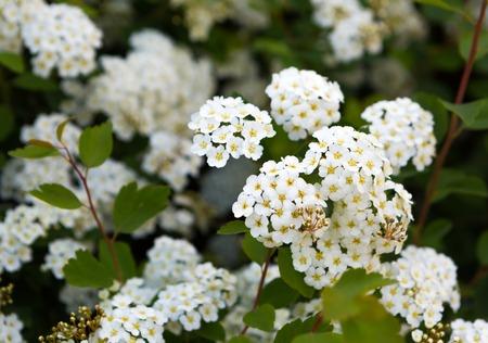 Beautiful blooming white flowers of spirea. White springtime flowers