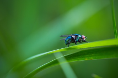 Macro of fly sitting on plant. Beautiful shingng wild fly sitting on plant.