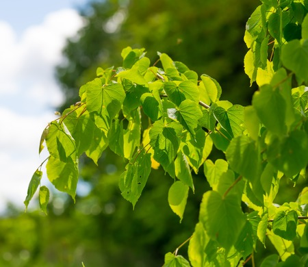 linden tree: Linden tree leaves. Beautiful close up of fresh young green linden tree leaves.