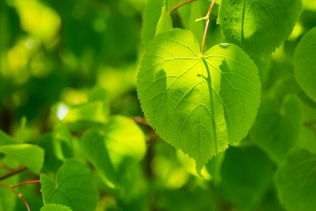tilo: Linden tree leaves. Beautiful close up of fresh young green linden tree leaves.