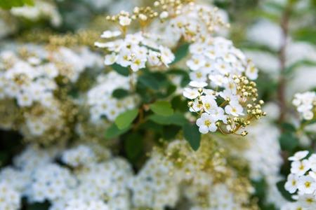 Schöne Blühende Weiße Blumen Spirea. Weiß Frühling Blumen ...