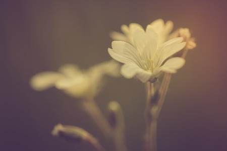 chickweed: Vintage photo of white chickweed flowers in close up. Beautiful old fashioned flower macro