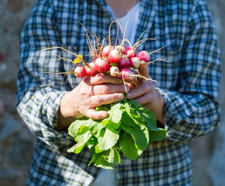ecologic: Woman hands with just picked radish. Natural ecologic garden wegetables.