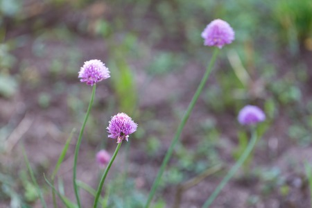 globular: Beautiful flowers of chives photographed in garden. Pink flowers of onion.