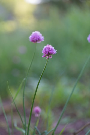 onion flowers: Beautiful flowers of chives photographed in garden. Pink flowers of onion.