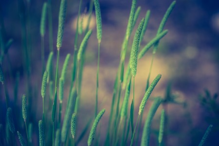 Vintage photo of grass ears. Beautiful wild grass blooming in summer photo