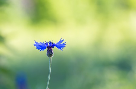 Close up of blue cornflower blooming. Nature background of wild flower. photo