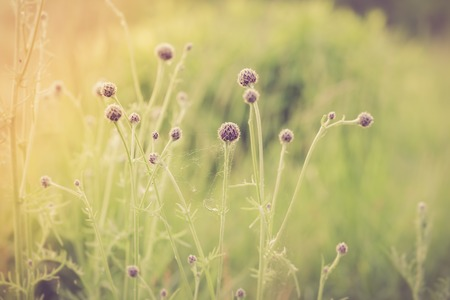 nature photo: Vintage photo of thistle flowers growing on meadow. Nature background
