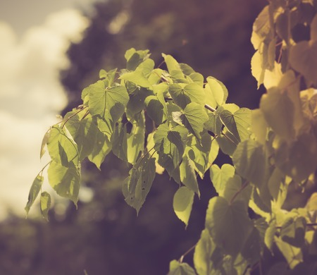 limetree: Vintage photo of linden tree branch with young leaves. photo with vintage mood Stock Photo