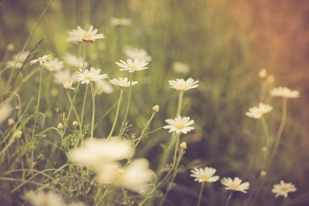 vintage photo: Vintage photo of chamomile flowers growing on field. Photo wiyh vintage mood effect Stock Photo