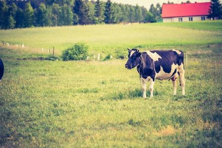 milker: Vintage photo of cow on pasture. Animal portrait of polish cows. Stock Photo