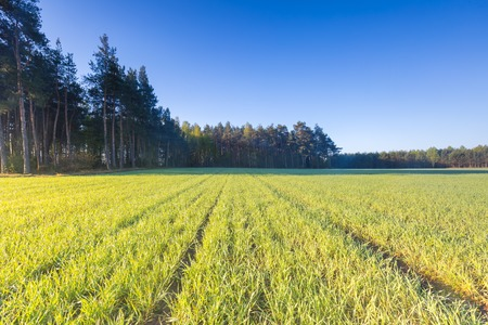 rural countryside: Beautiful young rye field in springtime. Rural countryside landscape Stock Photo