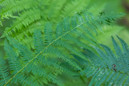 furl: Wild fern growing in forest leaves photographed in european forest in summer.
