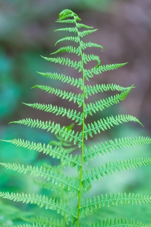 Wild fern growing in forest leaves photographed in european forest in summer.