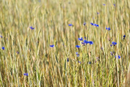 agronomic: Cornflowers growing on summertime field. Beautiful rural field close up.