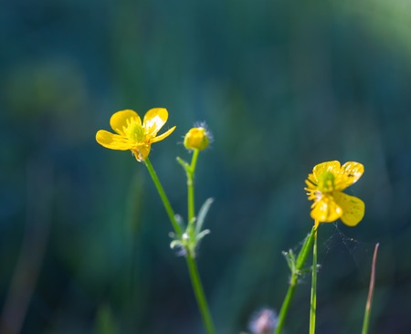 minutiae: Buttercup flowers growing on wild meadow. Beautiful summertime flowers