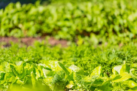 green vegetable: Young lettuce growing in garden. Beautiful green vegetable photo.