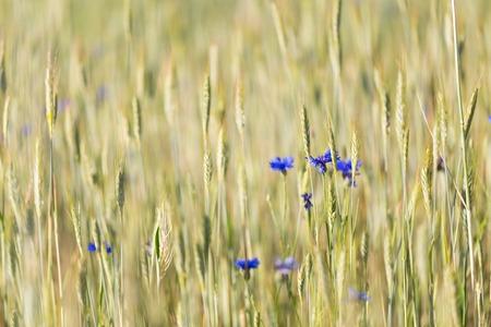 agronomic: Cornflowers growing on summertime field. Beautiful rural field close up.
