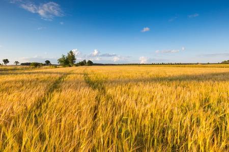Mooi landschap van zonsondergang over maïs veld in de zomer.