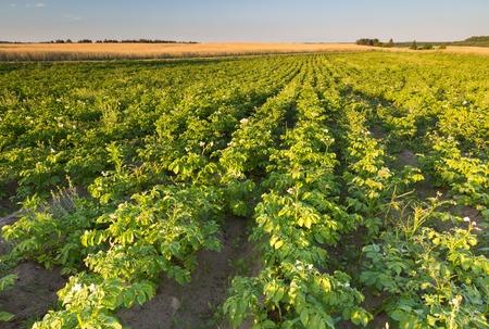 potato tree: Beautiful summer landscape of potatoe field in sunset light. Polish countryside Stock Photo