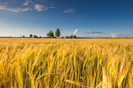 harvest: Landscape of corn field at summer. Beautiful polish countryside.