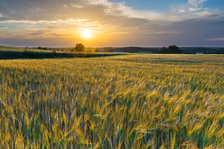 rural countryside: Sunset over cereal field with grown up ears. Beautiful rural countryside landscape.