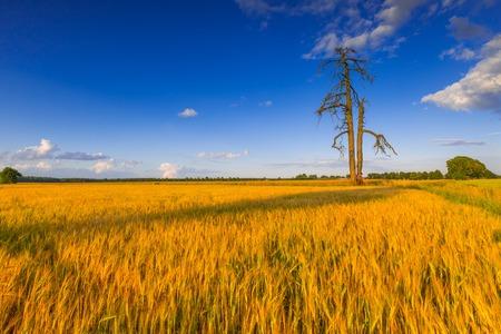 campagne rural: Coucher de soleil sur un champ de c�r�ales avec des oreilles grandi. Beau paysage de campagne rurale.