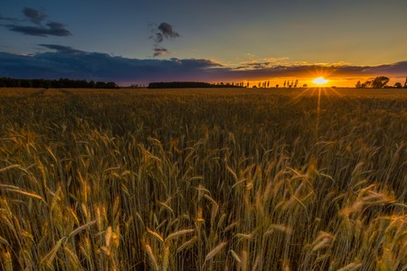 grown up: Sunset over cereal field with grown up ears. Beautiful rural countryside landscape.
