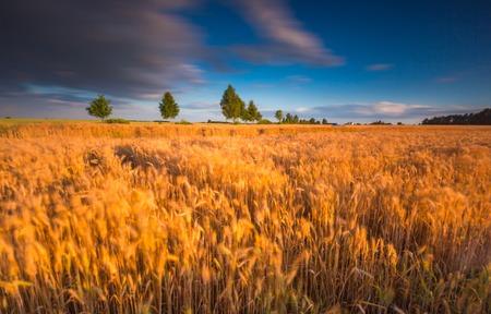 campagne rural: Coucher de soleil sur un champ de c�r�ales avec des oreilles grandi. Longue paysage d'exposition. Beau paysage de campagne rurale. Banque d'images