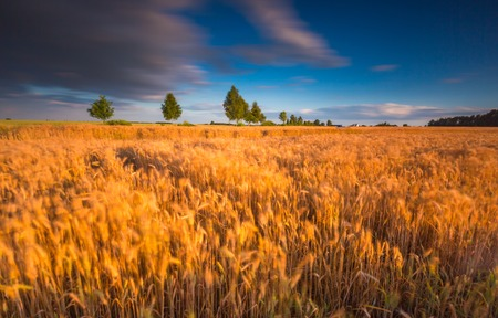 rural countryside: Sunset over cereal field with grown up ears. Long exposure landscape. Beautiful rural countryside landscape. Stock Photo