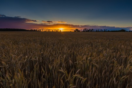grown up: Sunset over cereal field with grown up ears.