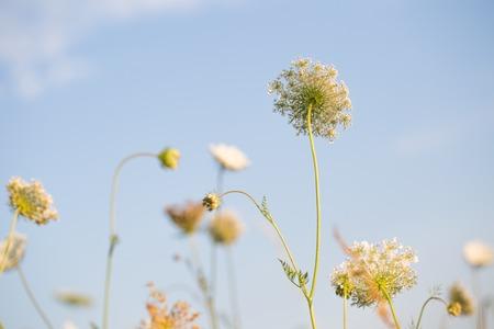 queen anne   s lace: Close up of wild carrot flower. Wild carrot is popular wild weed growing on uncultivated fields and meadows.