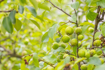small tree: Photo of young green apples, fruits on the branches of apple trees Stock Photo