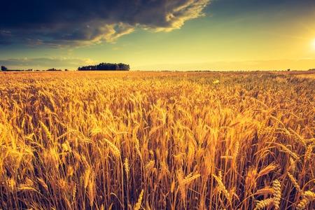 espiga de trigo: Foto de la vendimia de la puesta de sol sobre el campo de maíz en el verano. Mazorcas de maíz cultivadas hermosas en campo de verano al atardecer. Foto de archivo