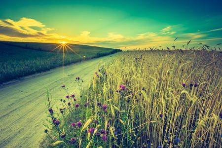 日落葡萄酒照片在麦地的在夏天。美丽的生长的玉米耳朵在夏令时领域在日落。