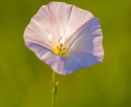 uncultivated: Close up of wild pink bindweed flower. Beautiful wild flower growing on uncultivated fields and meadows Stock Photo