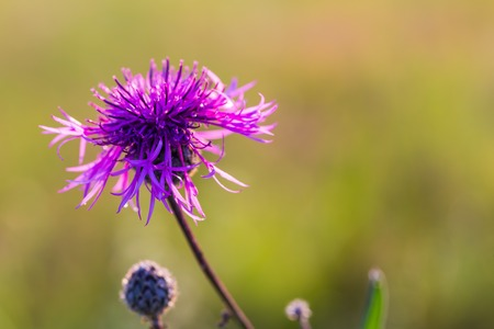 uncultivated: Beautiful violet thistle flower growing on wild uncultivated field. Stock Photo