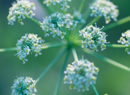 uncultivated: Close up of wild carrot flower. Wild carrot is popular wild weed growing on uncultivated fields and meadows.