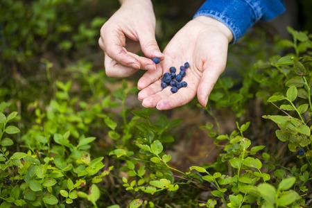 picking hand: Women hands picking wild blueberries. Hand with blueberries.